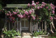Плетистая роза на домике