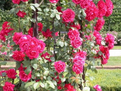 Розы на беседке