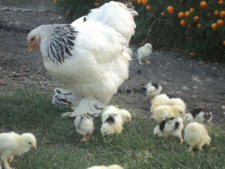 Цыплята и квочка породы брама