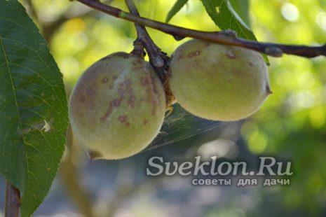 Вред от клеща на персике