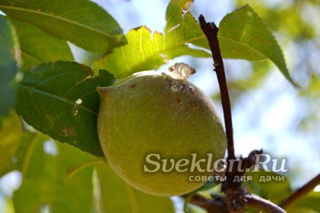 Моль на персике