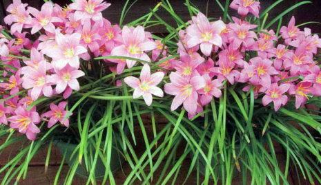 Цветок Выскочка