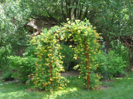 Жимолость вокруг арки