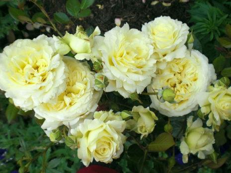 Elfe розы