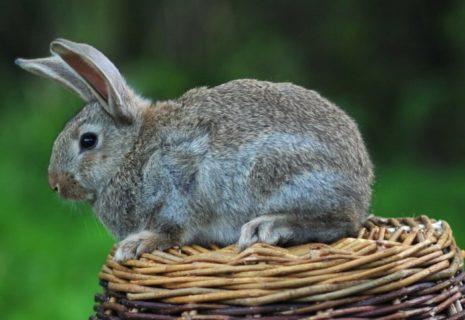Листериоз у кроликов