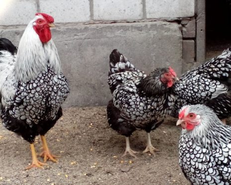 Петух и курицы