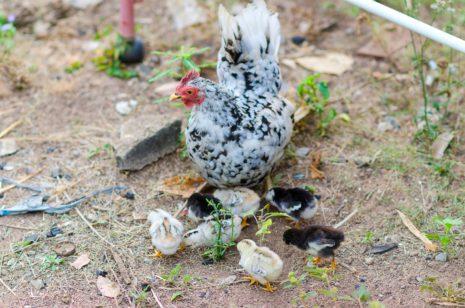 потомство кур