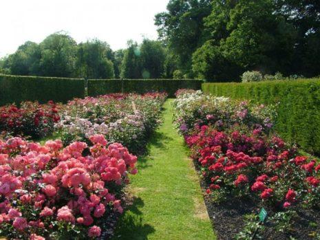 розы сад