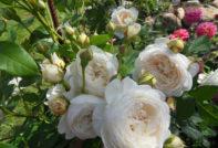 уход за белыми розами
