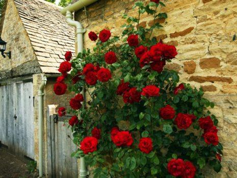 Сантана роза