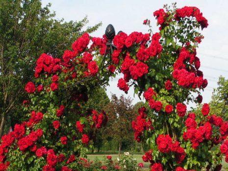 Ярко-алые цветы