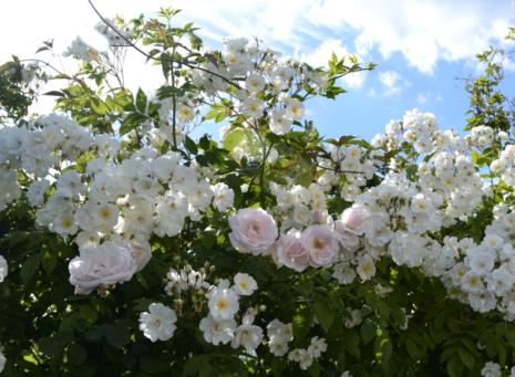 Розы Бобби