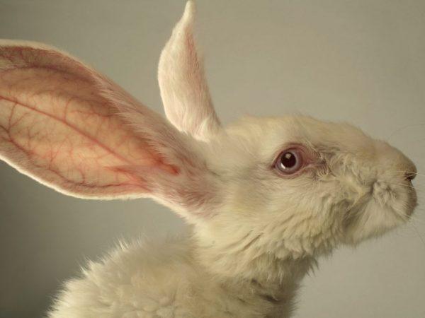 Болезнь глаз кроликов