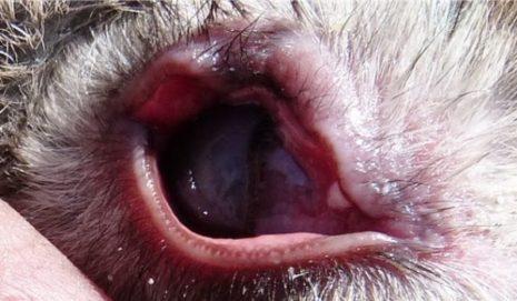 конъюнктивит глаза кролика