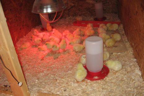 Разведение птенцов