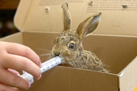 кормление новорожденных кроликов