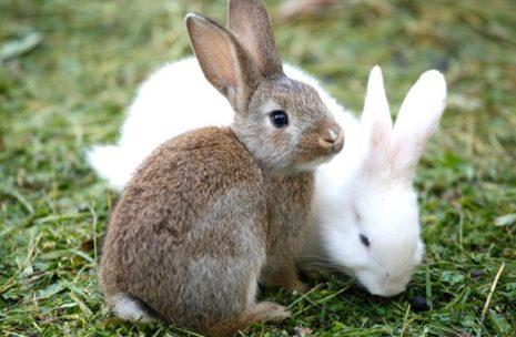 крольчата взрослые