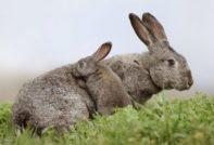 Крольчиха и кролята