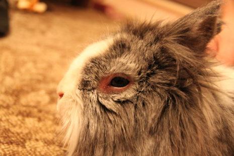 кролик глаз