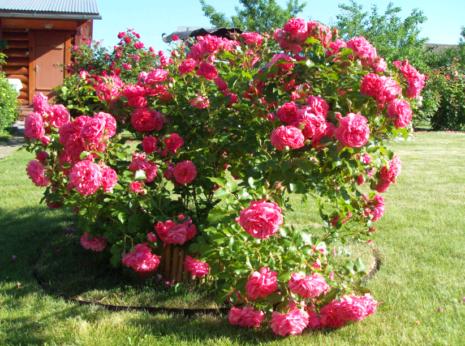 Плестицкие розы