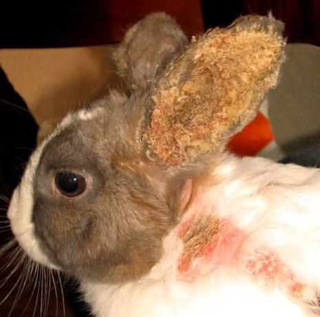 отит у кролика