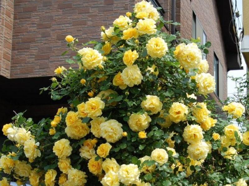 Вьющаяся роза желтого цвета фото