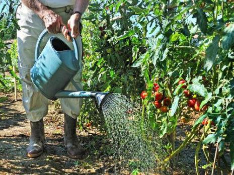 полив помидоров