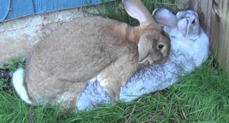 половой акт кроликов