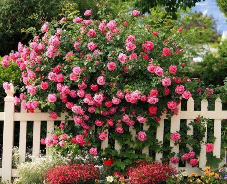 Способы размножения плетистой розы