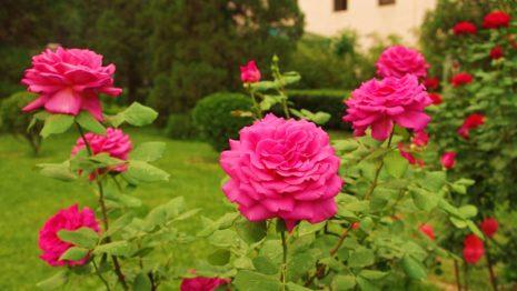 розы цветение
