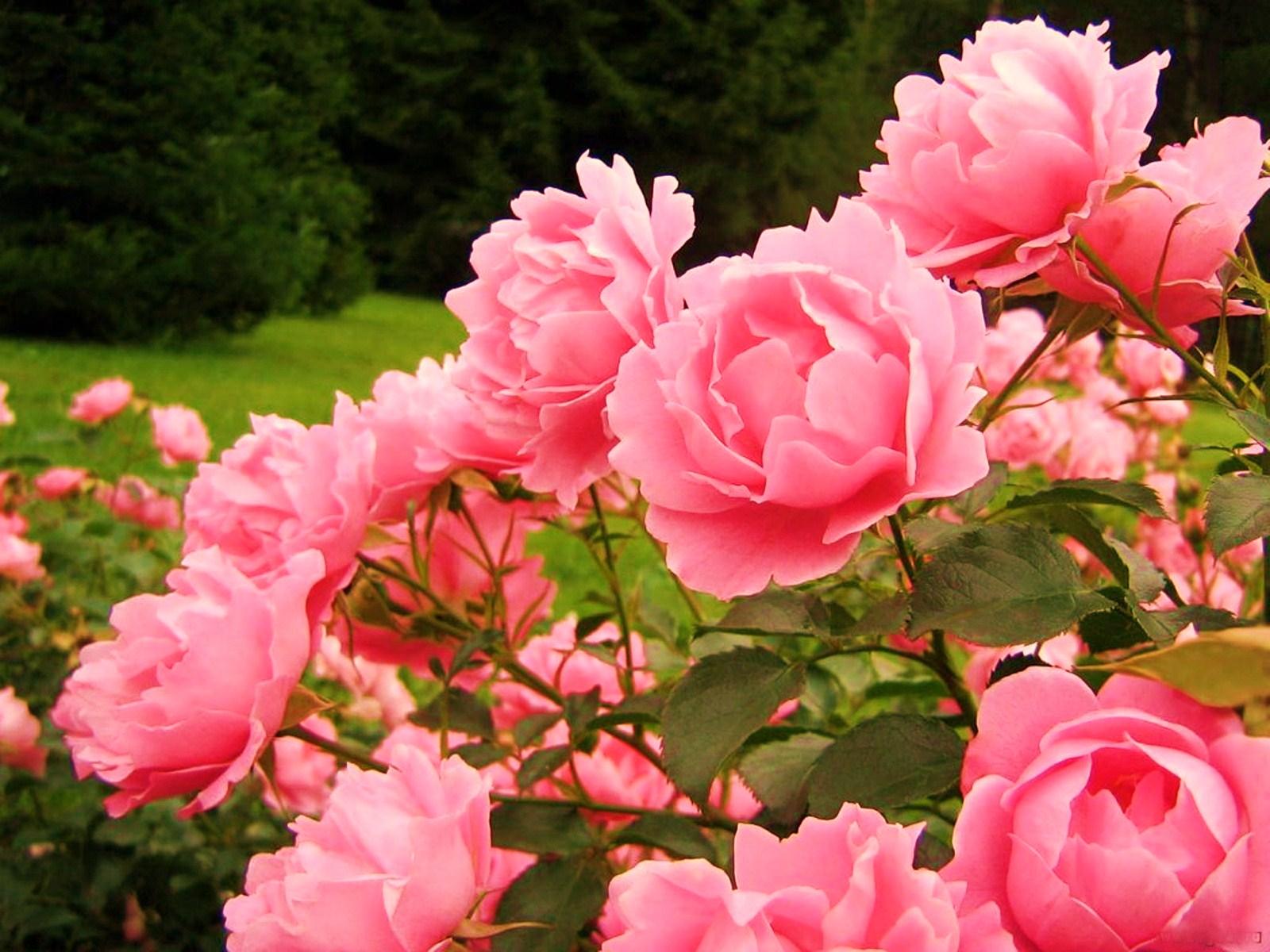 Открытки с розами в саду