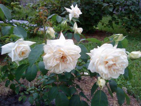 Сорта роз Шванензее