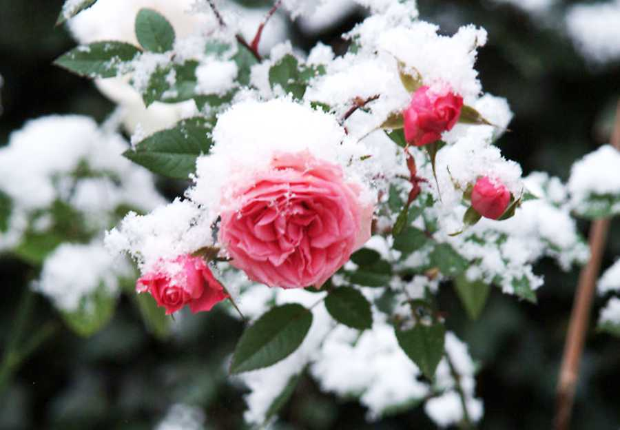 задаться розы фото в снегу обвитые шипастыми лозами