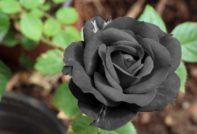сорт черная роза
