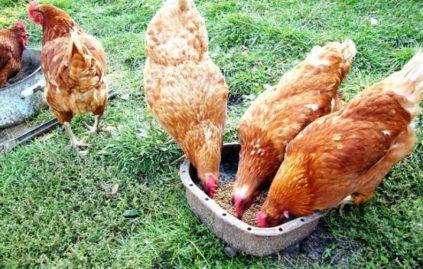витамины для куриц