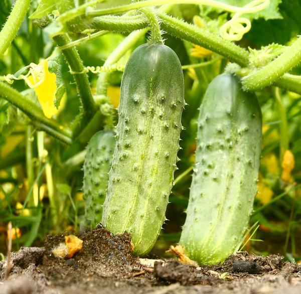 Лучшие сорта огурцов для открытого грунта высокоурожайные с фото и описанием