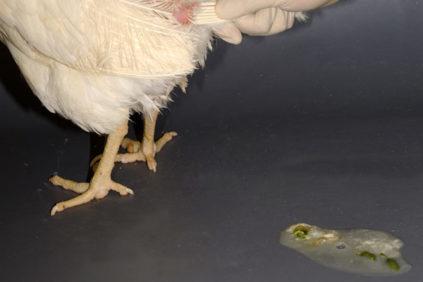 Чем поить цыплят от поноса