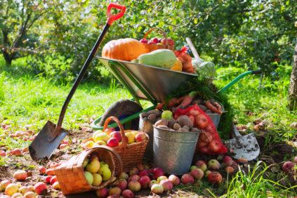 сбор урожая в огороде в октябре