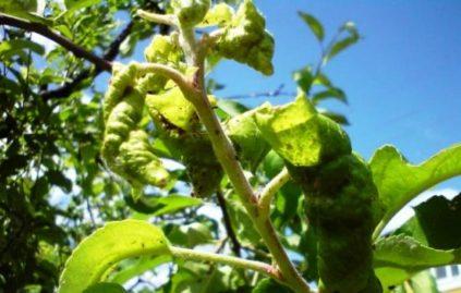 скручиваются листки на груше