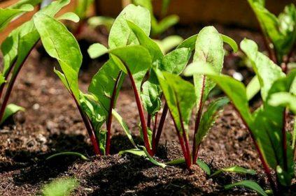 Когда проходит посев свеклы на рассаду в 2020 году?