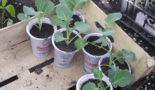 рассада капусты броколи