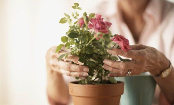 Основные требования выращивания розы