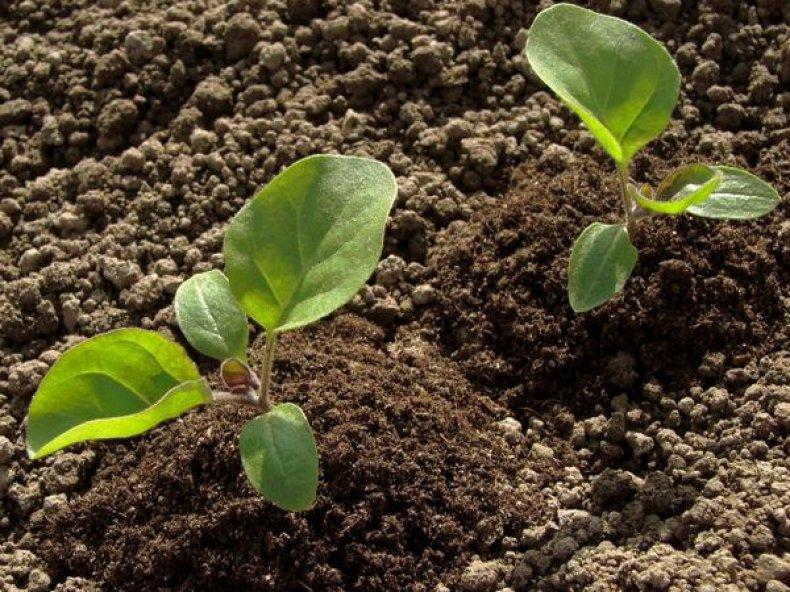 Безрассадное выращивание