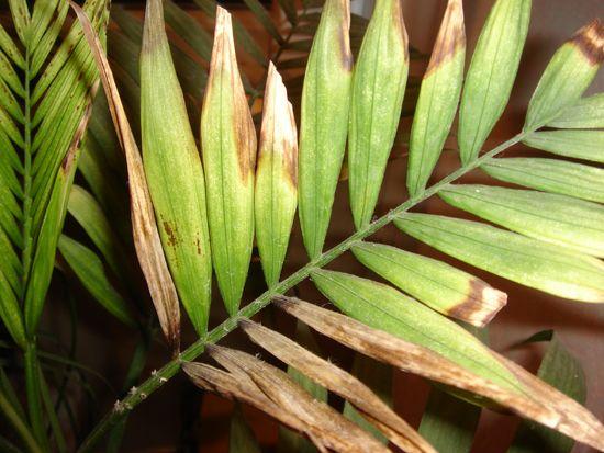 Усыхание кончиков листьев