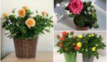 Уход за комнатными розами в горшках после покупки