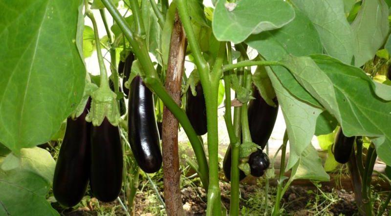 Баклажаны Универсал 6: описание сорта и нюансы выращивания