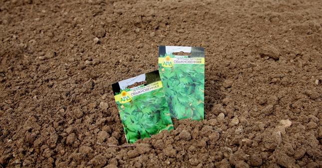 Когда сажать петрушку в открытый грунт: осенью или весной, чтобы быстро взошла