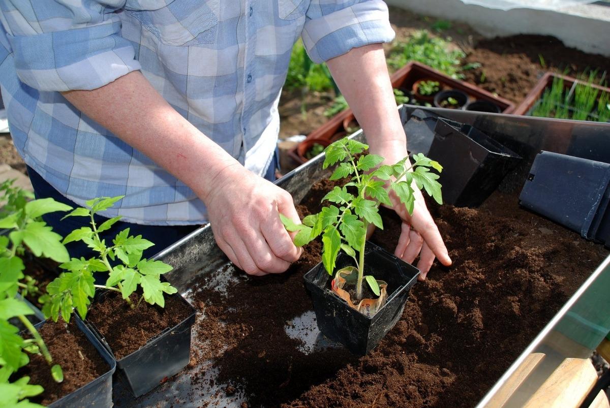 сроки посадки томатов