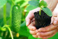Как вырастить рассаду огурцов в домашних условиях
