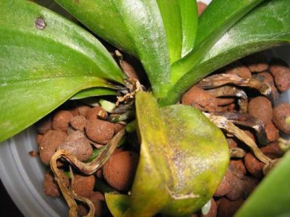 Желтеют и вянут листья орхидеи